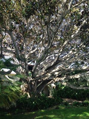 The Biltmore Fig EDIT