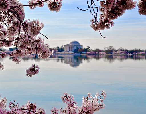 Jefferson Memorial framed by cherry blossoms, Washington DC