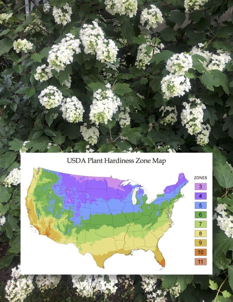 oak leaf hydrangeas plant hardiness zone map